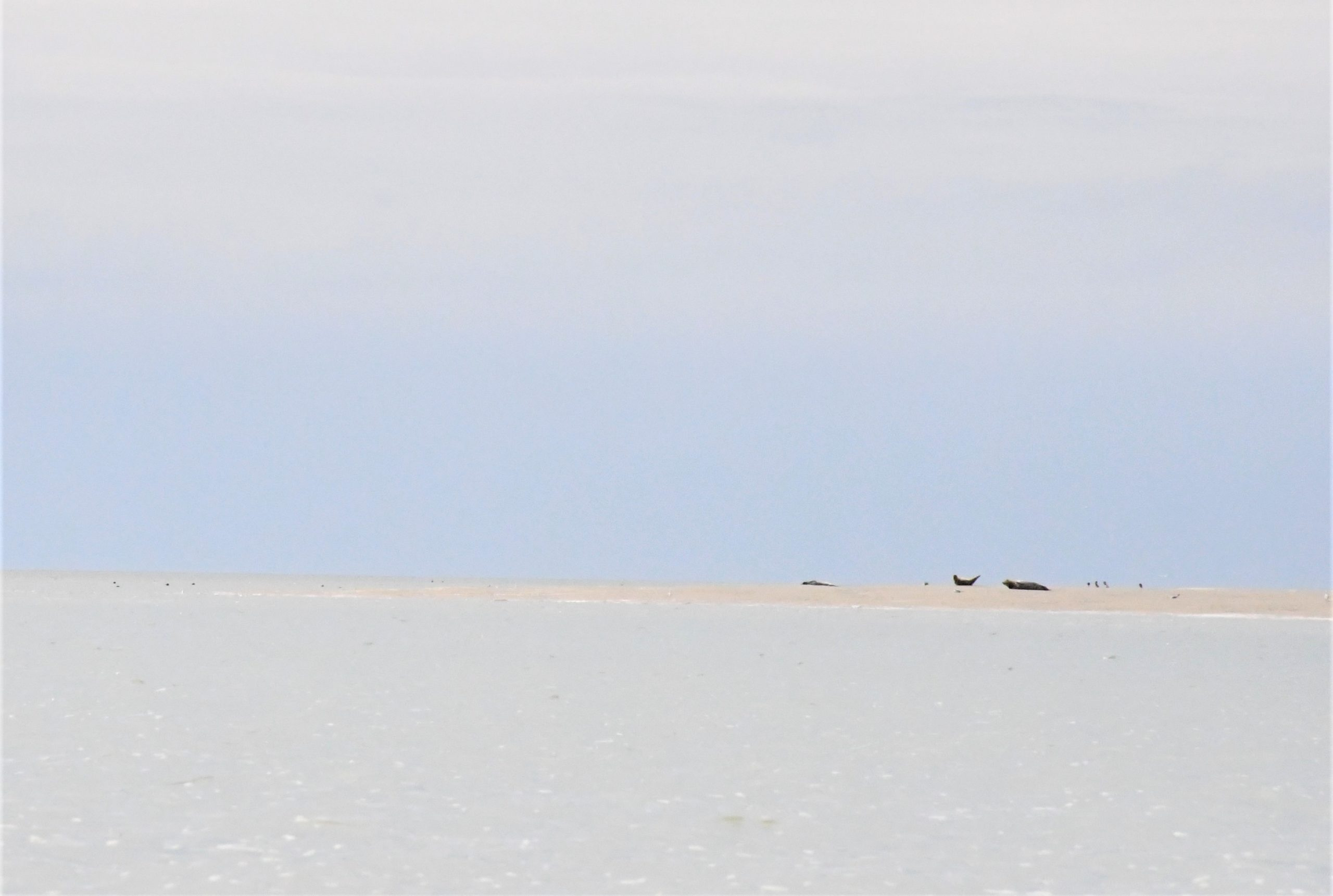 baie-de-somme-phoque-observation