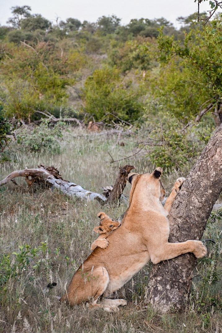 lion_lionceau_lionne_arbre_afrique_du_sud_balule_reserve_kruger_safari