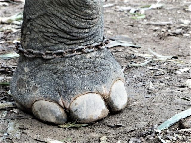 elephant_chaine_pied_patte_thailande_enchainé_asie_ayutthaya