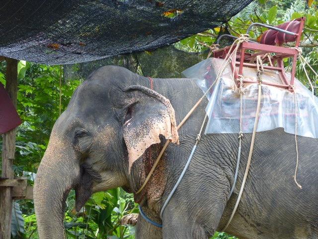 elephant_balade_dos_thailande_asie_bangkok_chaise_maltraitance_animale