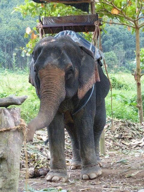 balade_dos_elephants_asie_thailande_maltraitance_animale