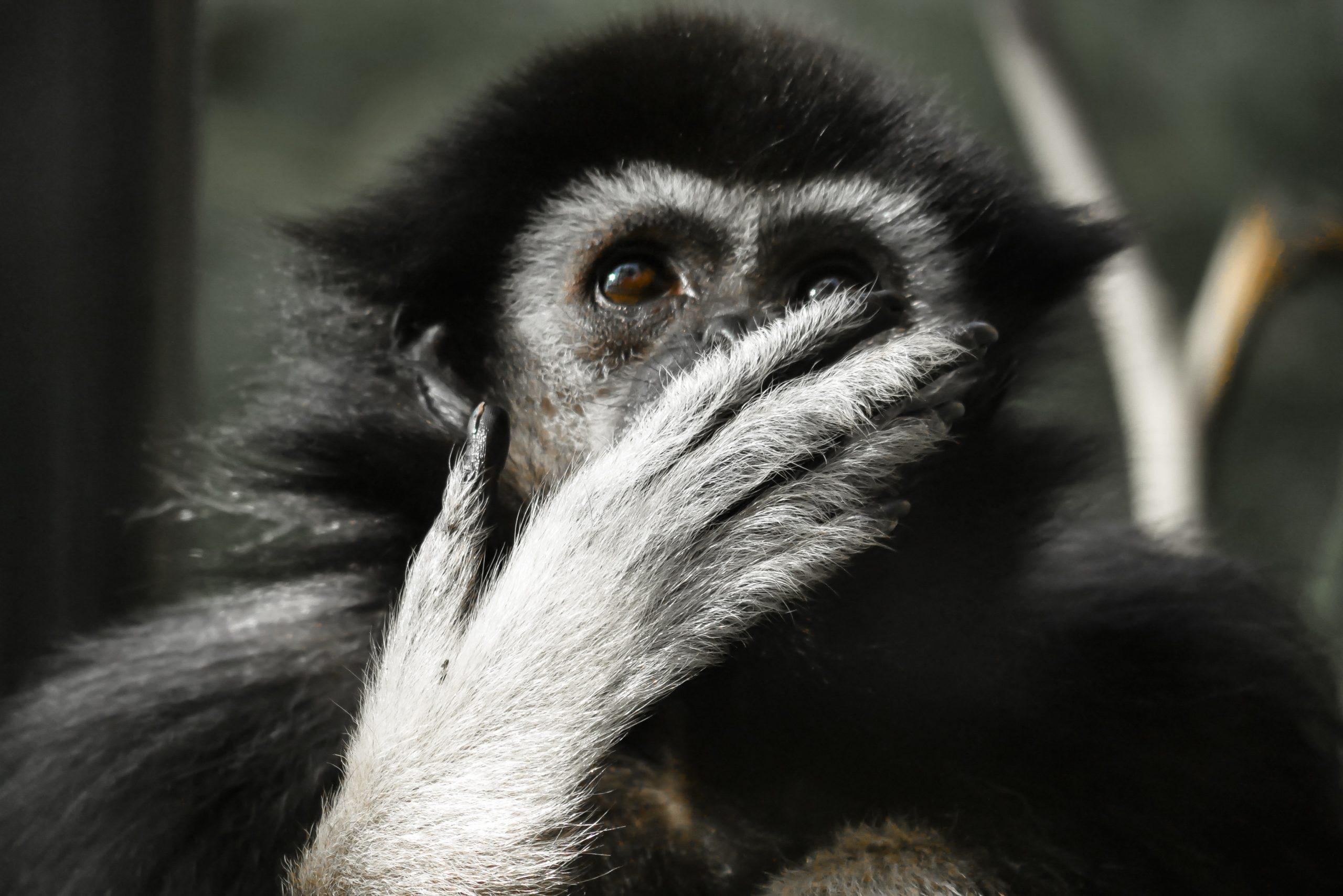 gibbon_noir_tête_singe_primate_thailande_asie