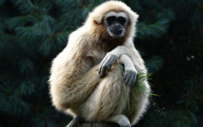 Ecotourisme : Les gibbons en Thaïlande