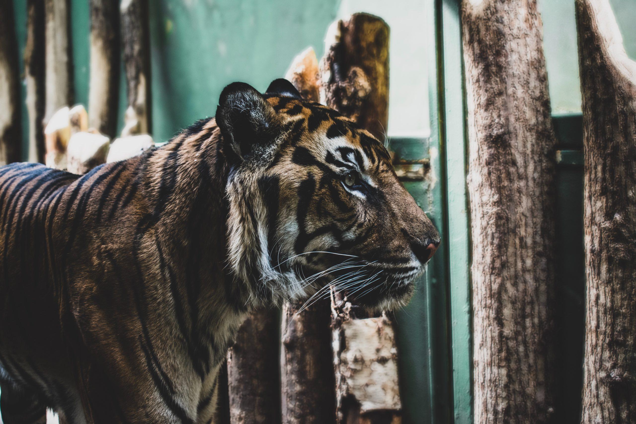 voir_tigre_thailande_sanctuaire_vérité_enfer_maltraitance_animale
