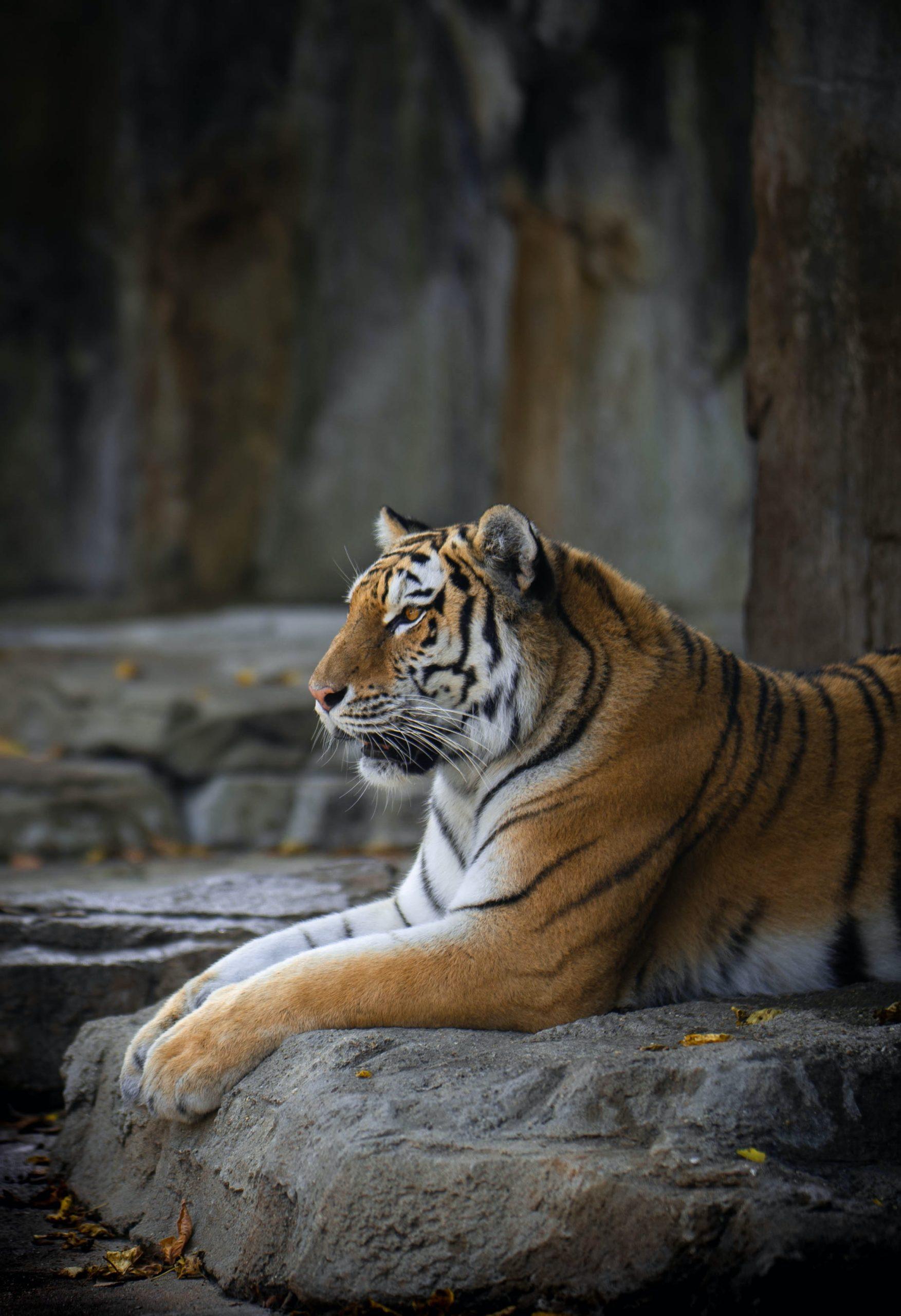 tigre_couché_captivité_temple_moines_félin_thailande_asie_maltraitance_animale