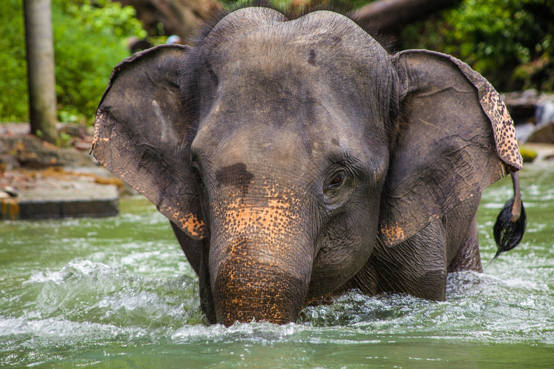 elephant_asie_thailande_bain_maltraitance_animale_touristes