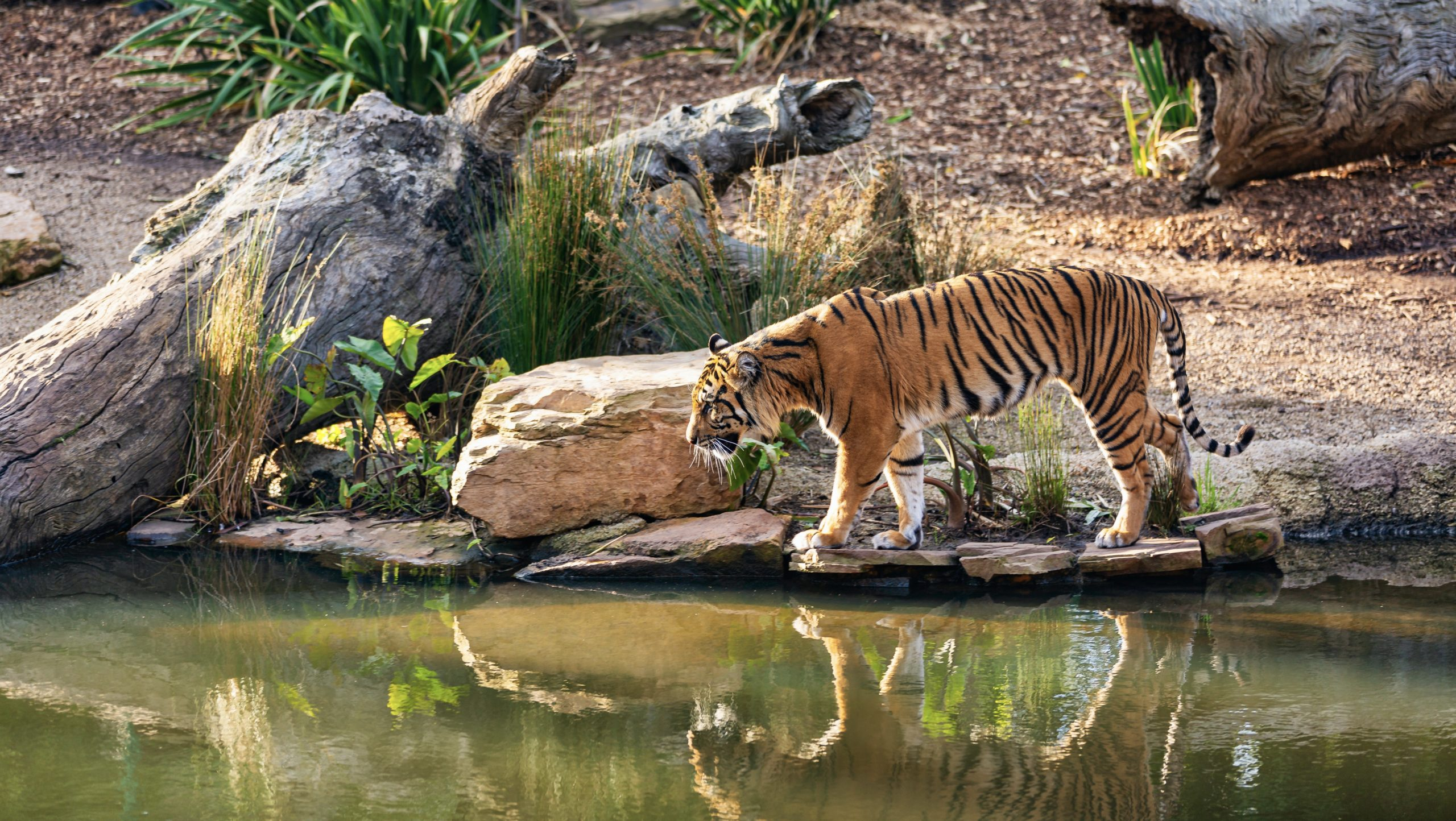 rencontre avec les tigres thailande)