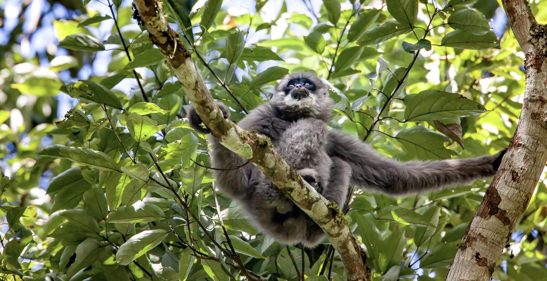 gibbon_thaïlande_asie_arbre_liberté