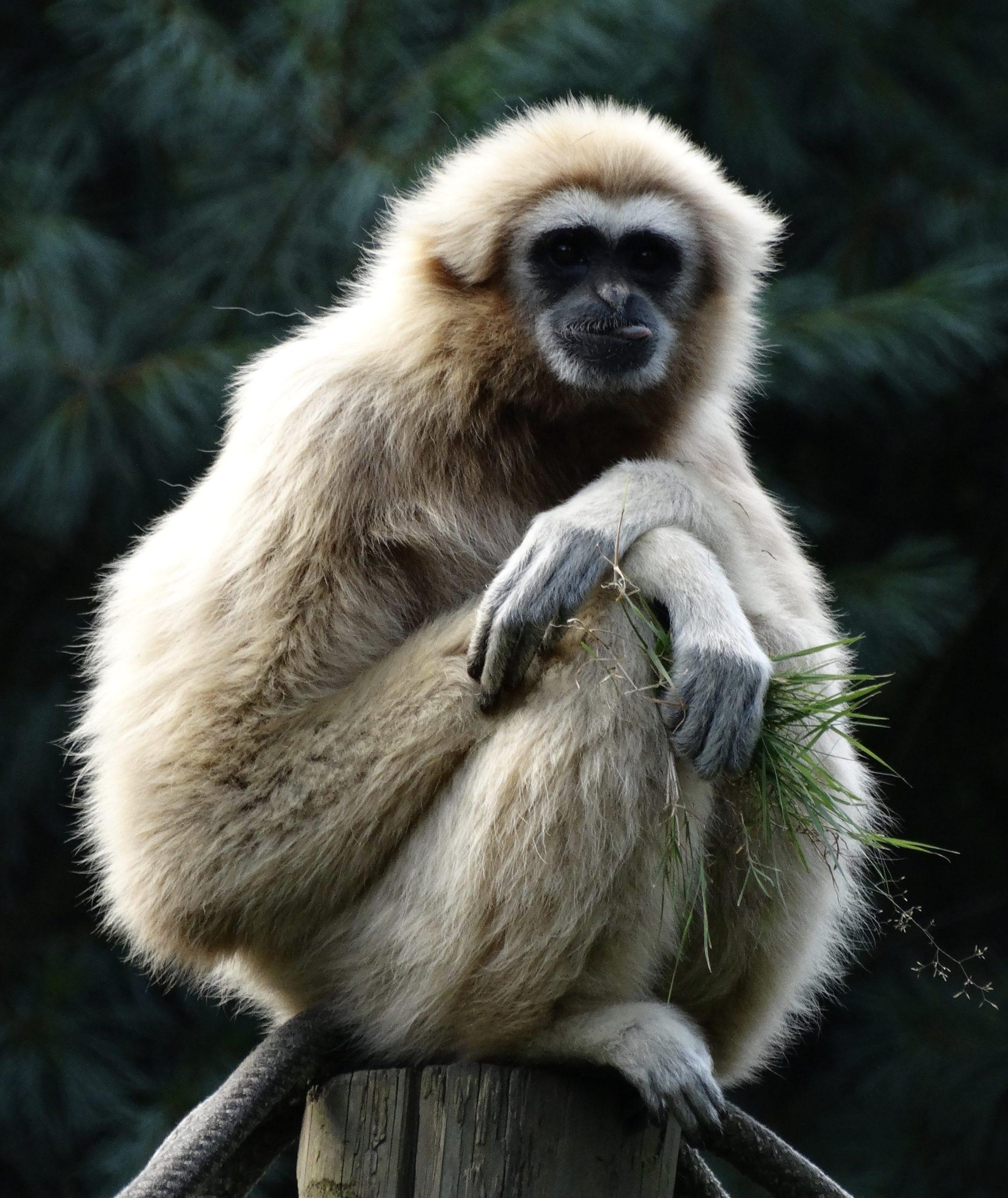 gibbon_captivité_assis_beige_thailande_asie