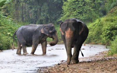 15 faits que vous ignoriez sur les éléphants d'Asie