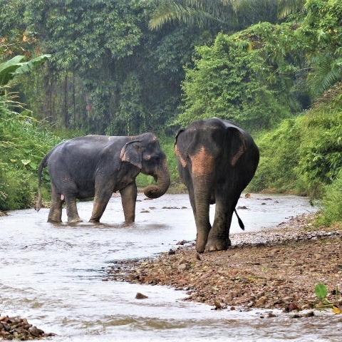 Khao_sok_thailande_elephants_asie_rivière_nature_sauavges