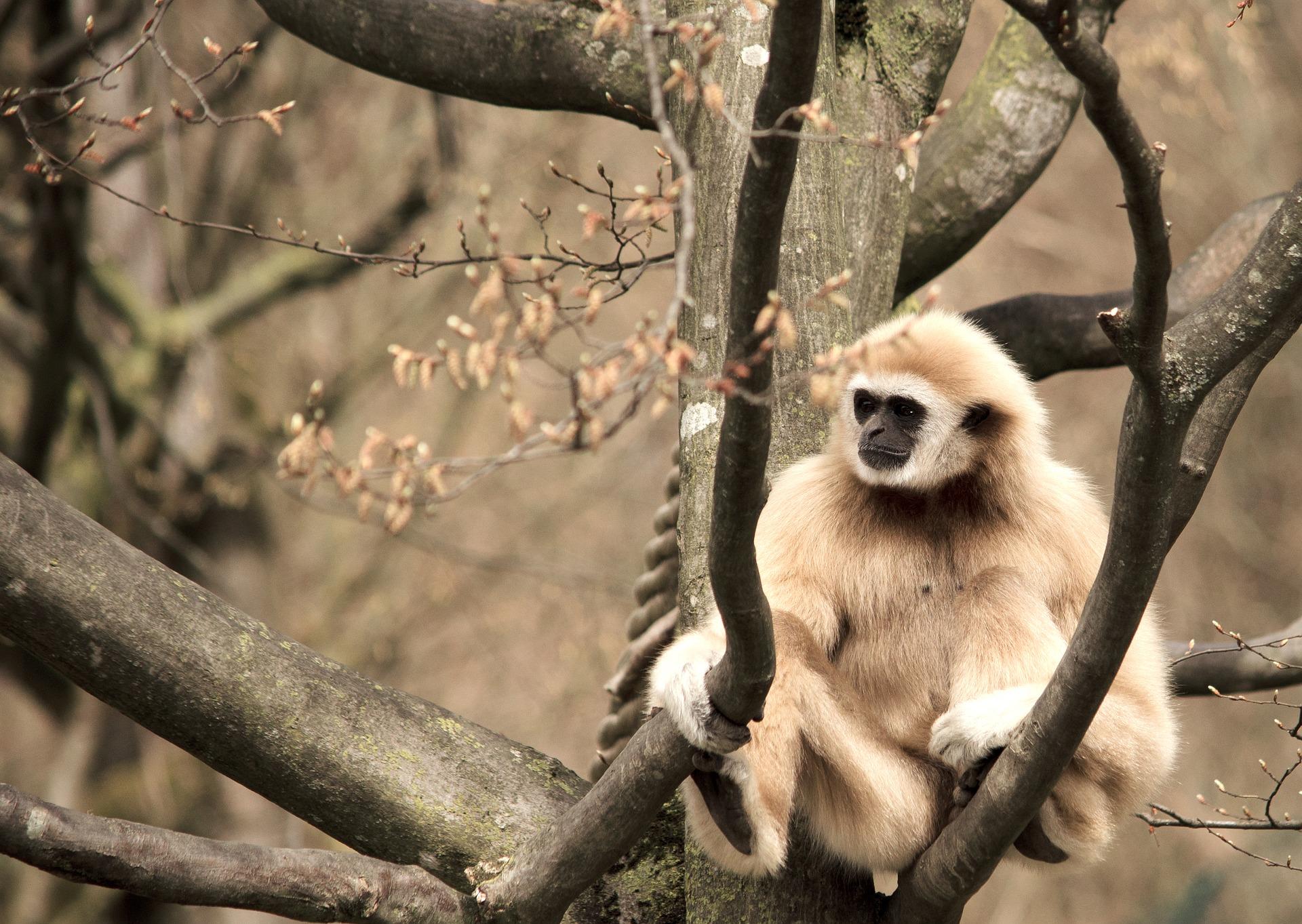 gibbon_beige_captivité_thailande_asie_singe