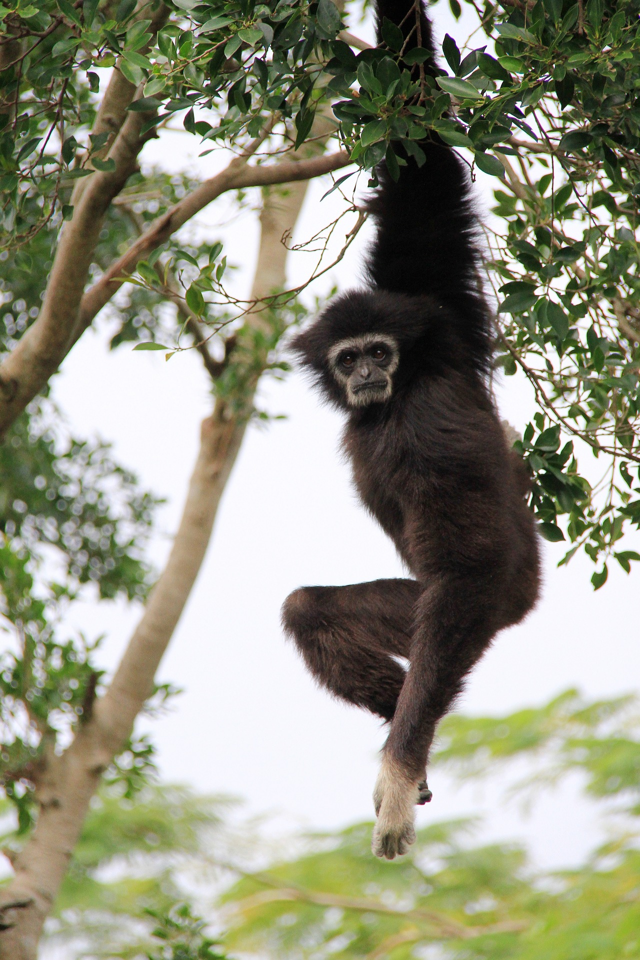 gibbon_thaïlande_asie_arbre_liberté_khao_yai_jungle