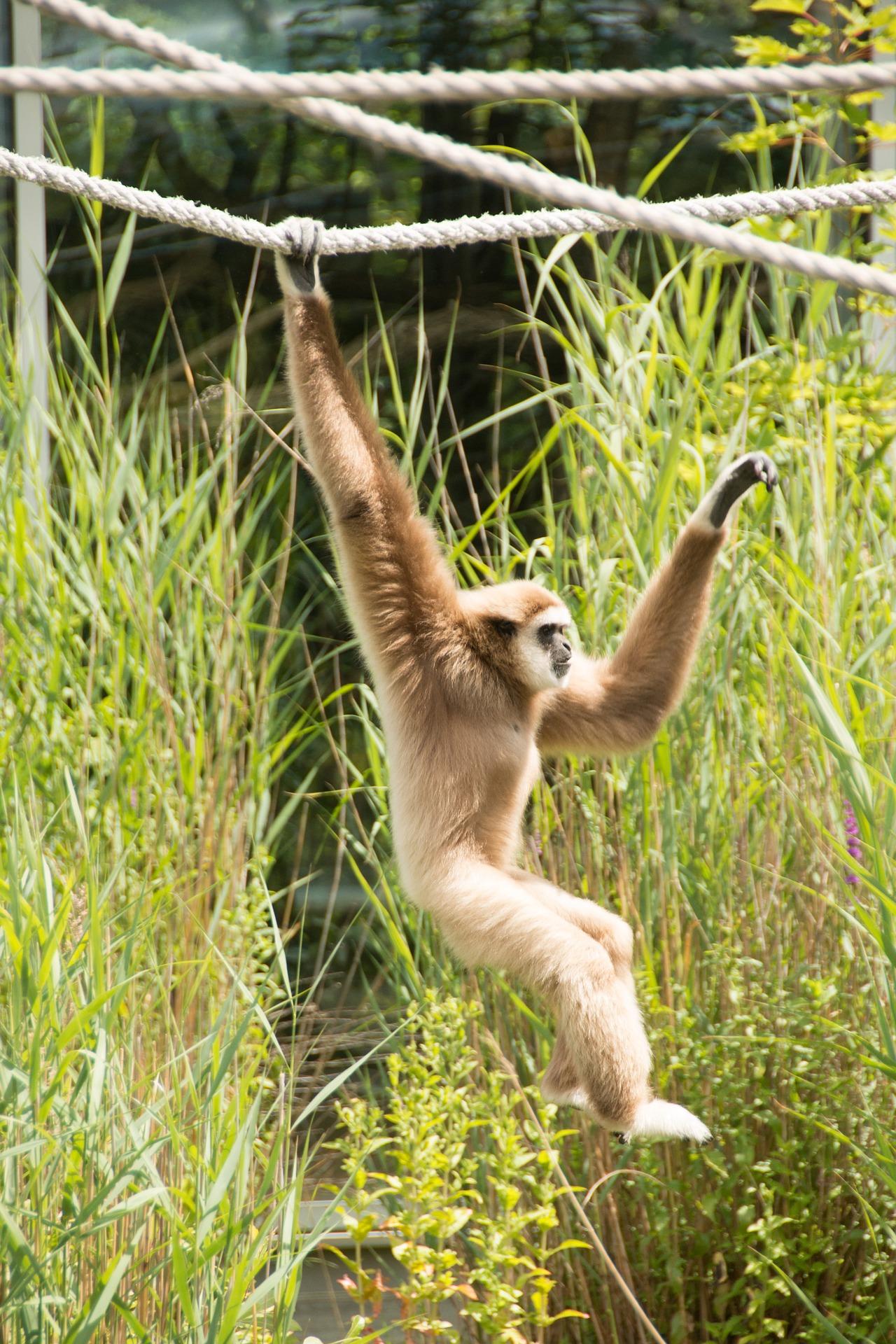 gibbon_singe_thailande_asie_cordes_captivité