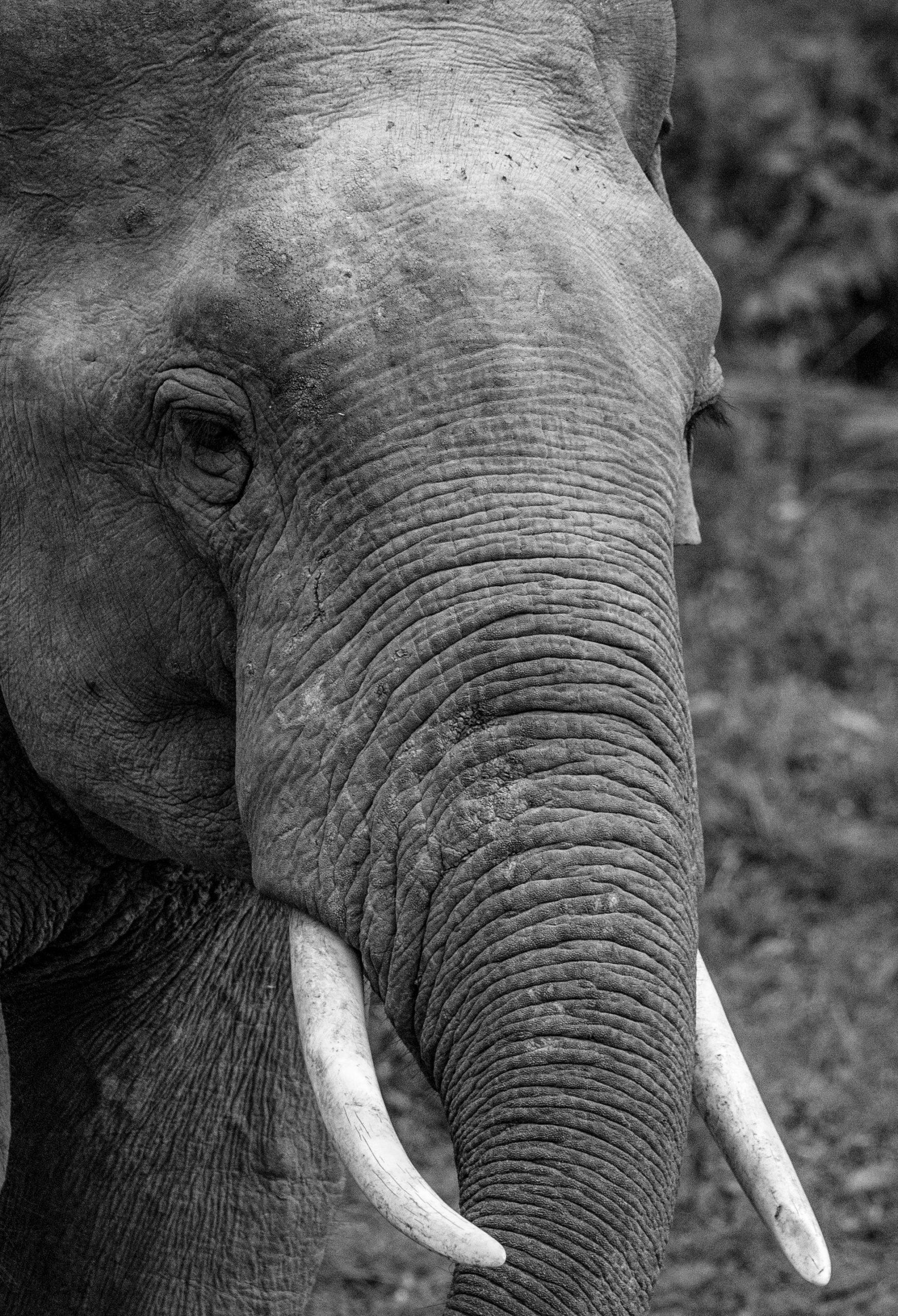 thaialnde_elephant_asie_trompe_tête_défenses