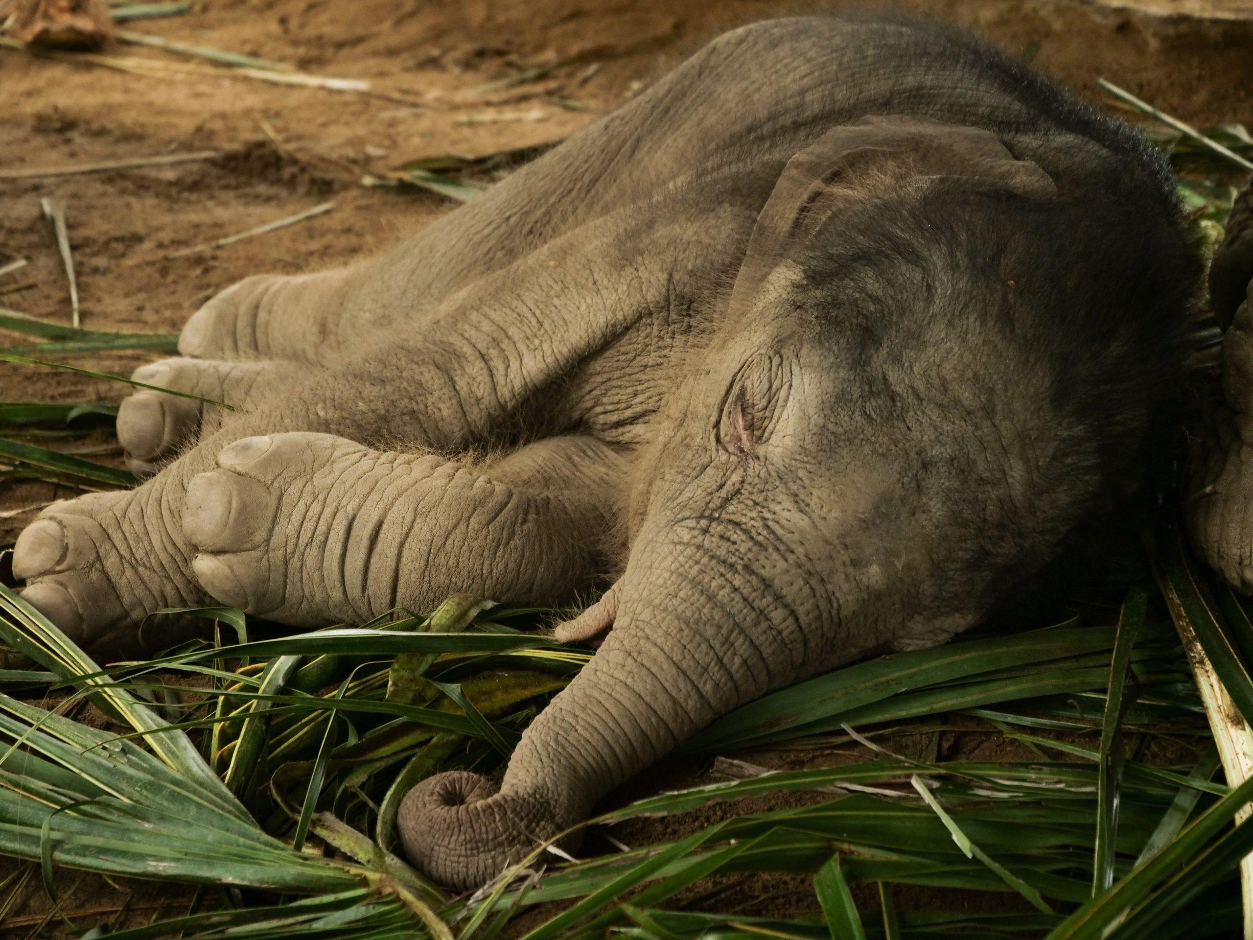 elephant_bebe_thailande_asie_chiang_mai_sanctuaire_elephanteau_dort