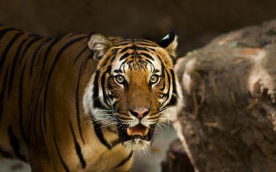 Voir les tigres en Thaïlande : des photos de rêve à la réalité