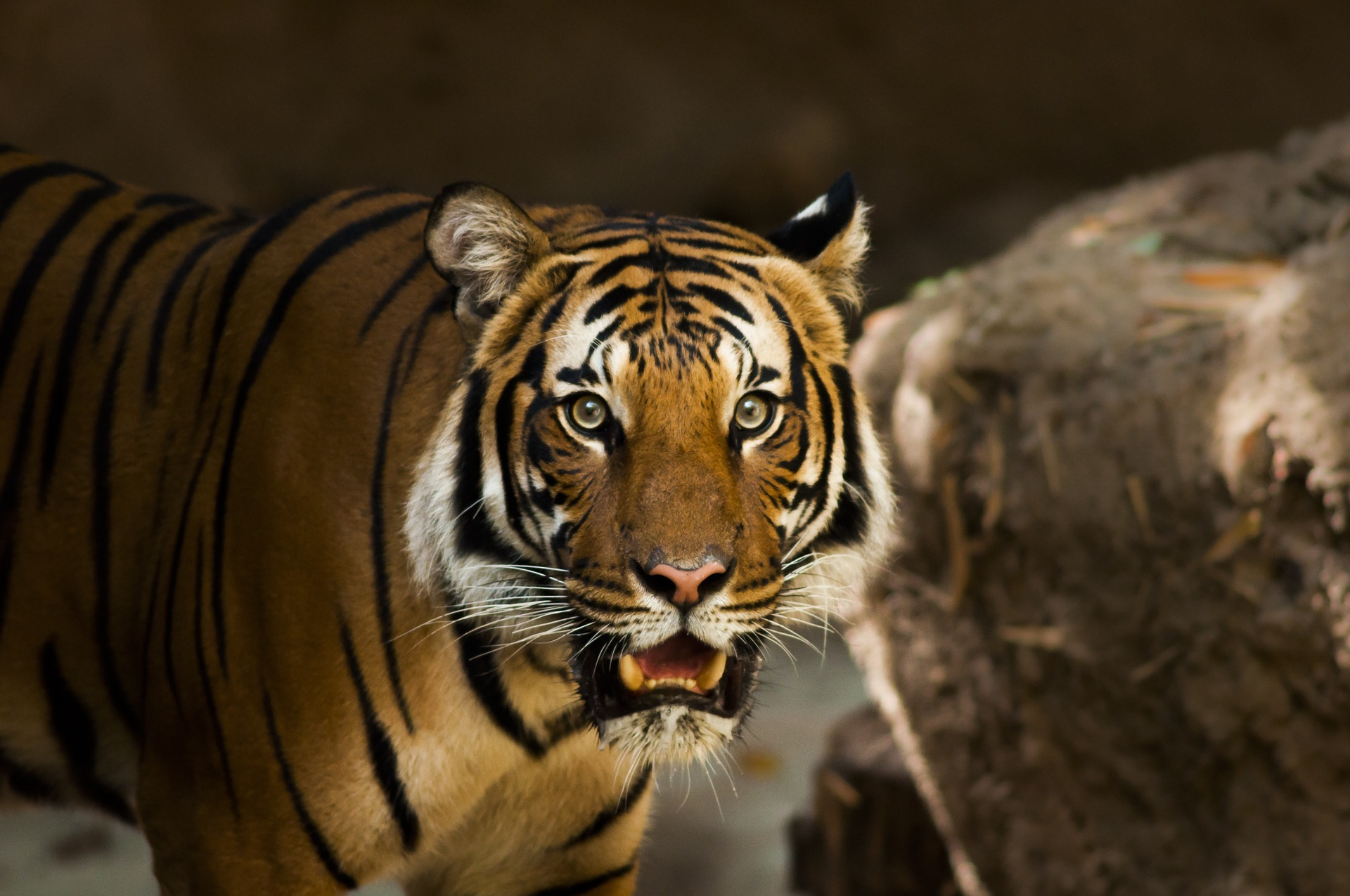 tigres_thailande_indonesie