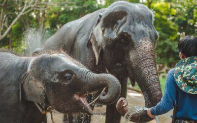 Thaïlande : la vérité sur les balades à dos d'éléphants