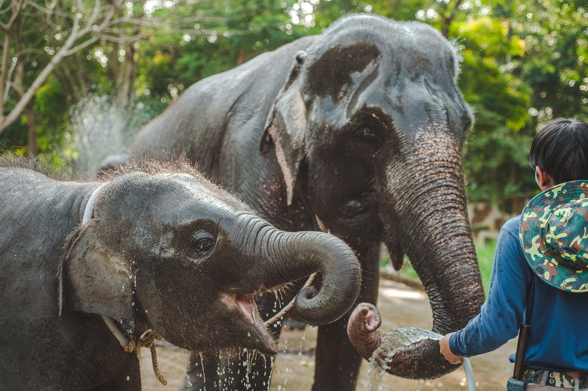 sanctuaire_asie_thailande_elephant_eau_bebe_elephanteau_mahout