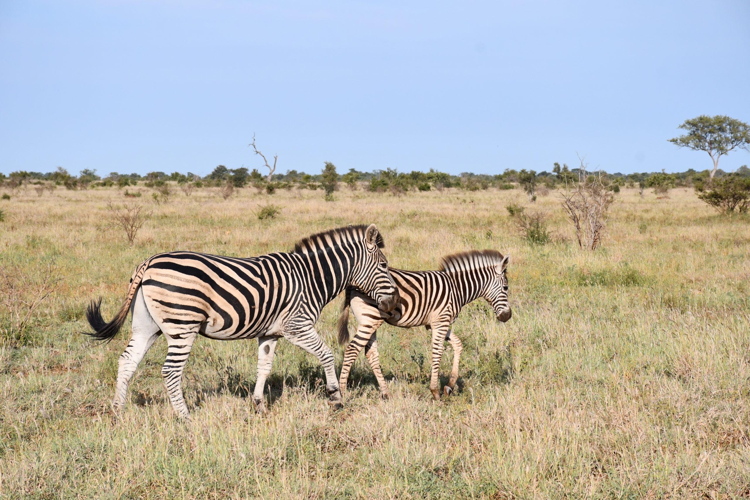 zebres-kruger-safari-voyage-afrique-du-sud