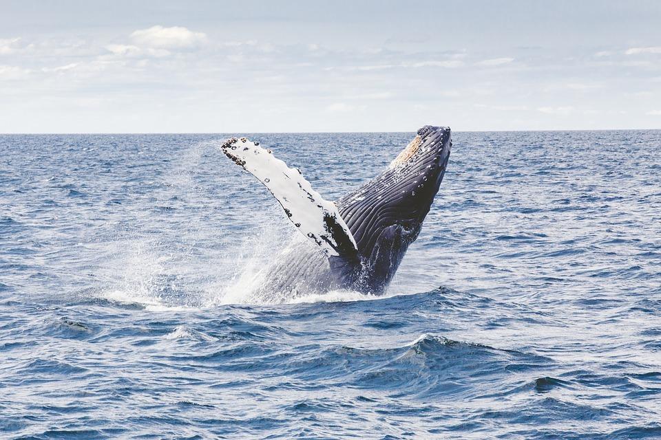 baleine-hermanus-afrique-du-sud-voyage