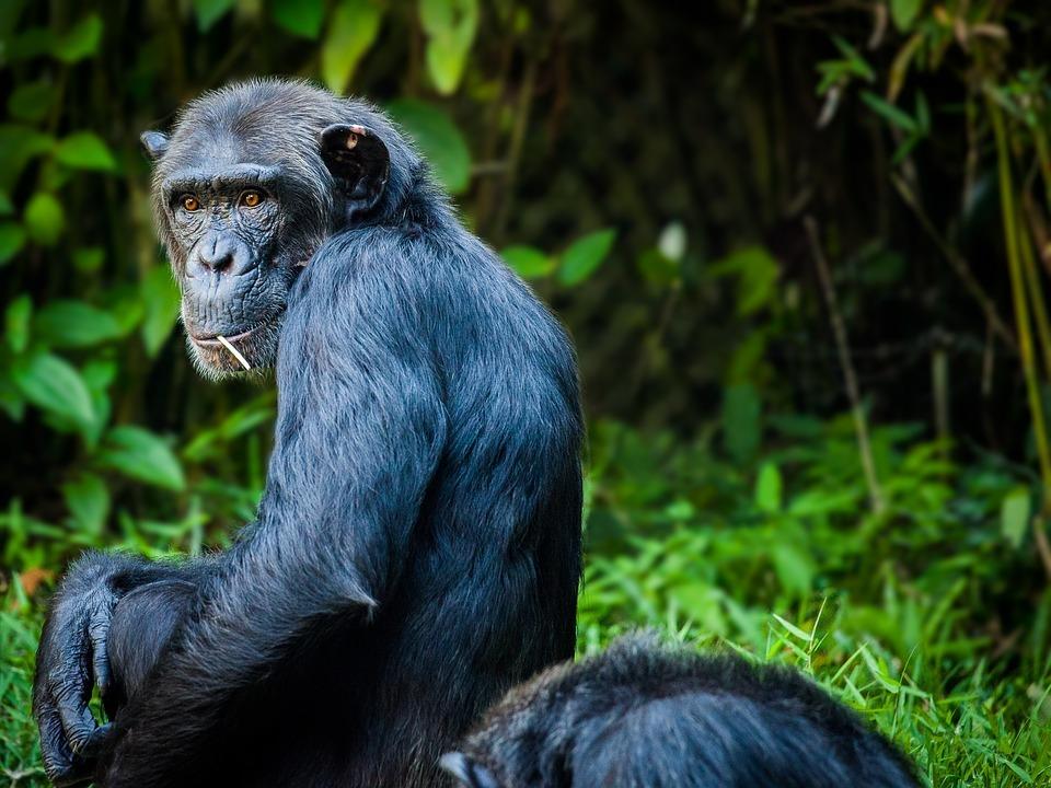 chimpanzé-chimp-eden-jane-goodall