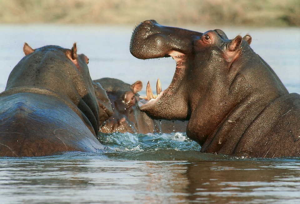 hippo-safari-kruger