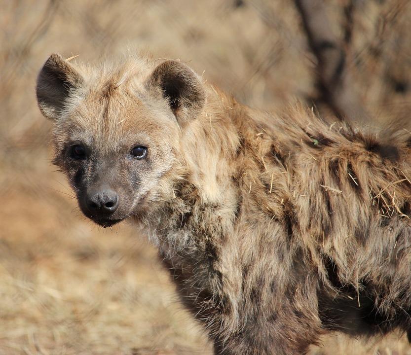 hyene-tachetee-kruger-safari