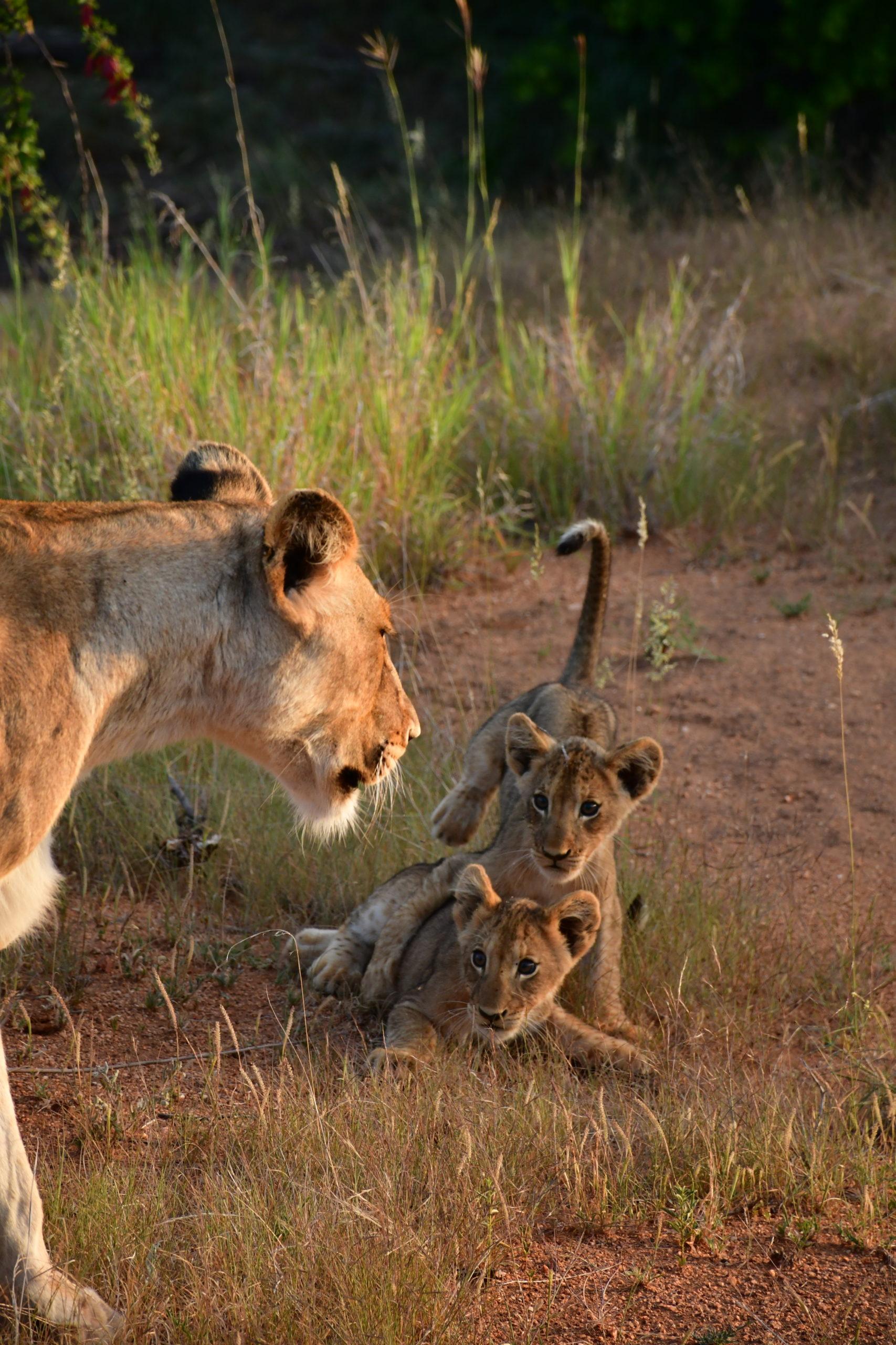 lionne-lionceaux-afrique-du-sud
