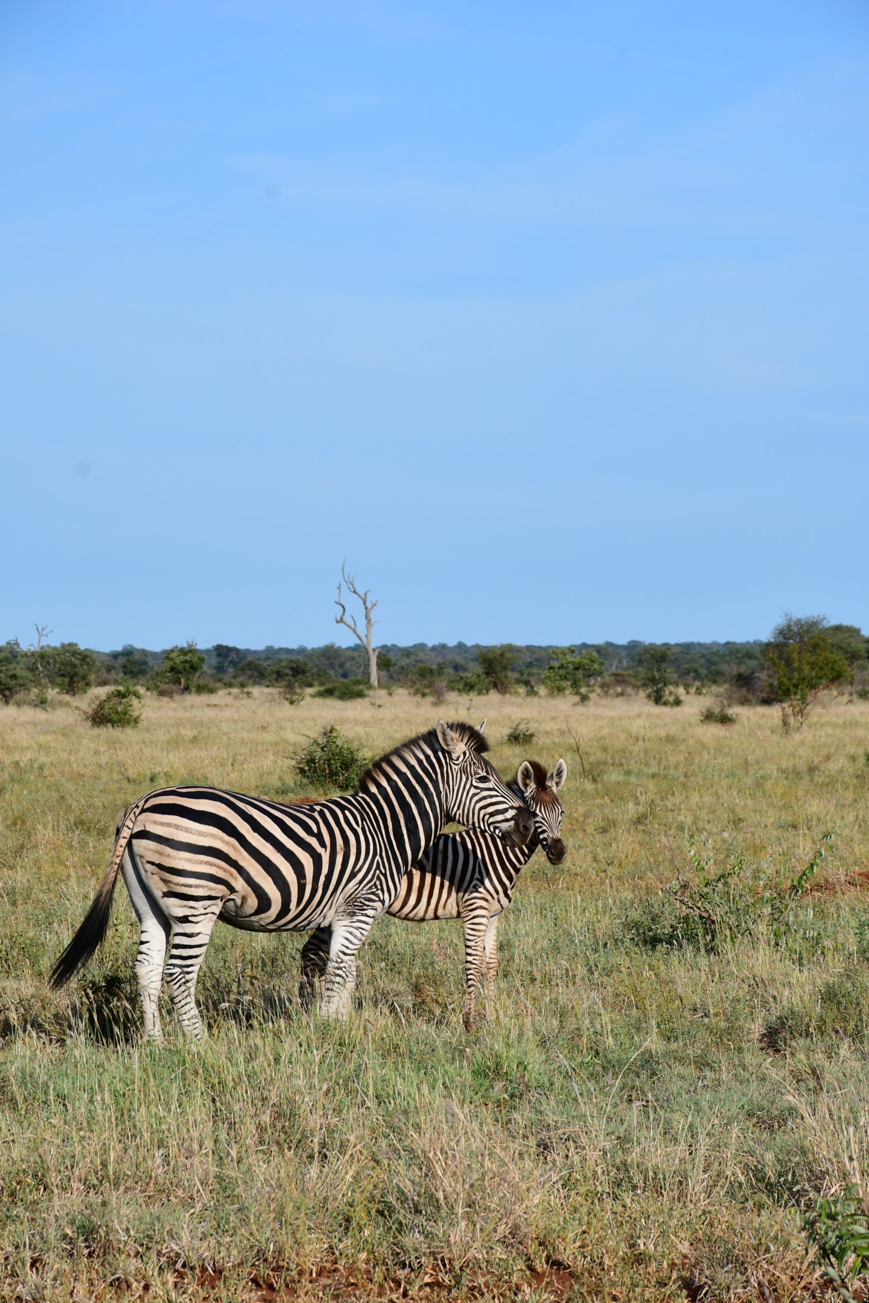 zebre-safari-afrique-du-sud